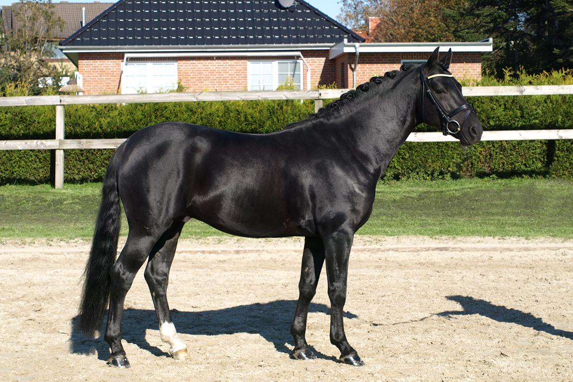 Dressurausbildung und Turniervorstellung von Ponys in Schleswig-Holstein