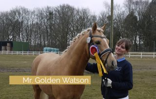 Ponyhengst Mr. Golden Watson in Schleswig-Holstein gekört