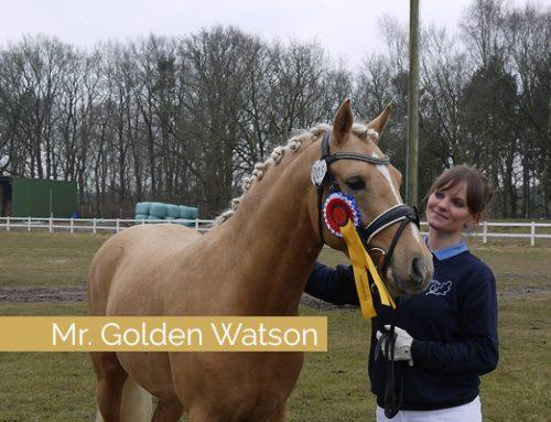 Mr. Golden Watson überzeug auf der Verbandskörung des Pferdestammbuchs SH & HH